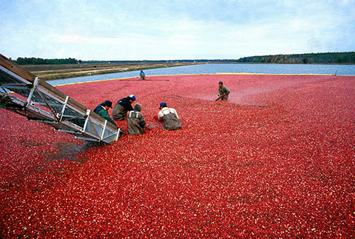 Canneberge cystite, cranberries contre infection urinaire